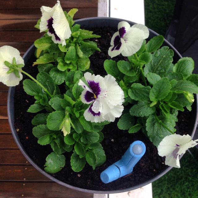 Flower Power in my pansies